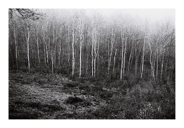 1. Birches in fog