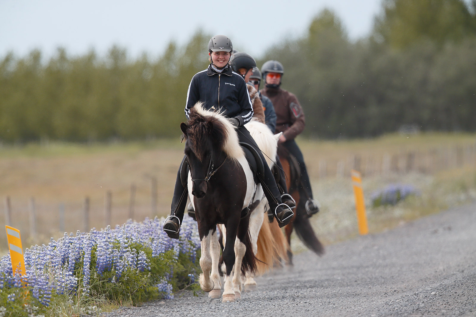Icelandic Ponies - doing the Tolt
