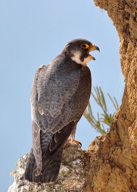 Peregrine Falcon - Falco peregrinus UB2A3331