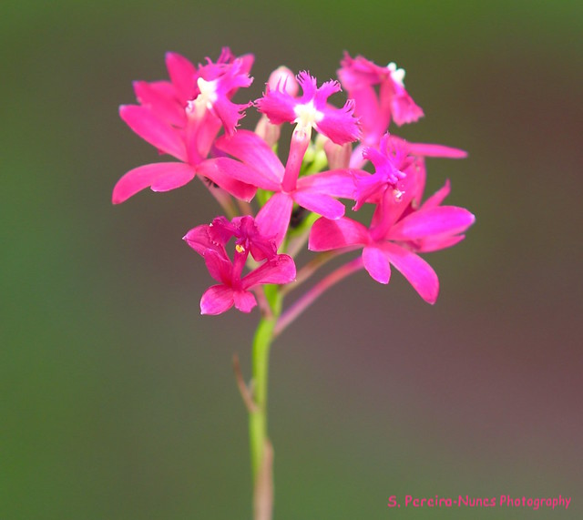 Epidendrum Orchid, Lavinia, Brazil