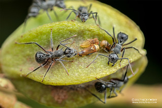 Leafhoppers (Busoniomimus sp.) with ants - DSC_7084