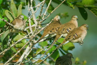 Long-tailed Ground Dove | by nickathanas