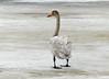 Whooper Swan (Cygnus cygnus) by Francisco Piedrahita