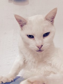 Snow White - 15 year old spayed female | by carescatshelter