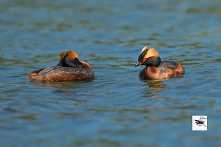 Horned-Grebe_w_8343 | by Stephen Daly