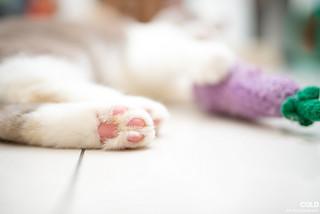 [寵物攝影] 英國短毛貓 蘇格蘭摺耳貓台北 寵物攝影 | by cold0328