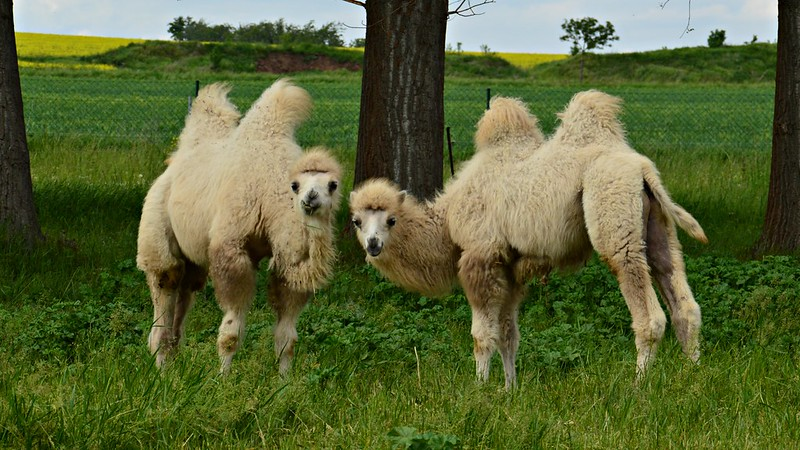 Junge Kamele