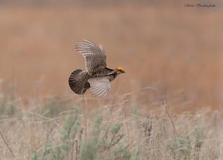 Lesser Prairie Chicken in flight | by sbuckinghamnj