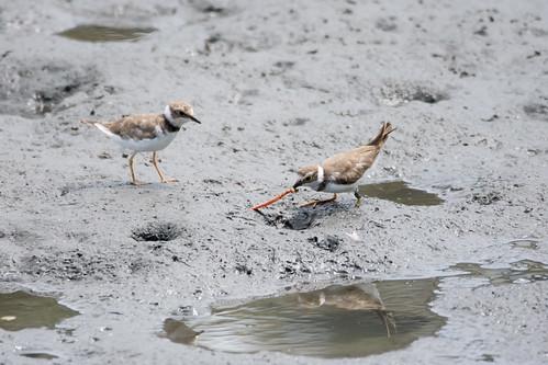 土, 2017-07-22 12:51 - おっなんか見つけたコチドリ ー 東京港野鳥公園