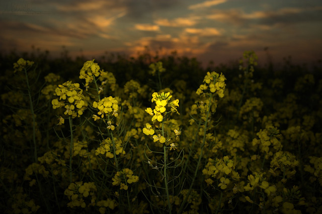 Rapeseed in the evening