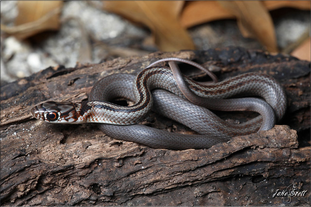 Southern Black Racer (Coluber constrictor priapus)