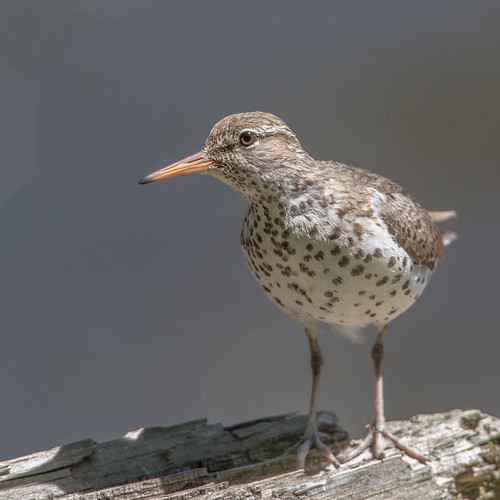 spottedsandpiper sandpiper actitismacularius actitis actitismacularia scolopacidae shorebird nigelje kettleriver