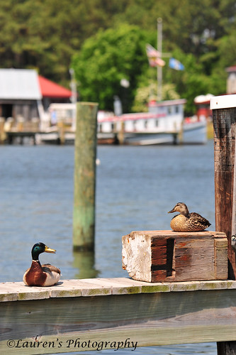 laurensphotography lauren3838photography ducks chesapeakebay chesapeakebaymaritimemuseum stmichaels milesriver md maryland nikon tamron150600 easternshore talbotcounty waterfowl d700 nature ilovenature landscape cbmm mdinfocus wildlife tamron
