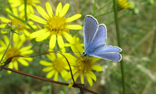 A Common Blue