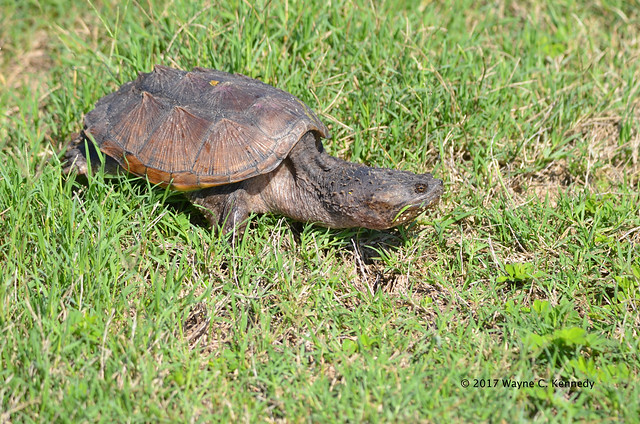 Snapping Turtle at North Lake Apopka Wildlife Drive