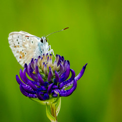 Chalkhill Blue on rampion 10.jpg