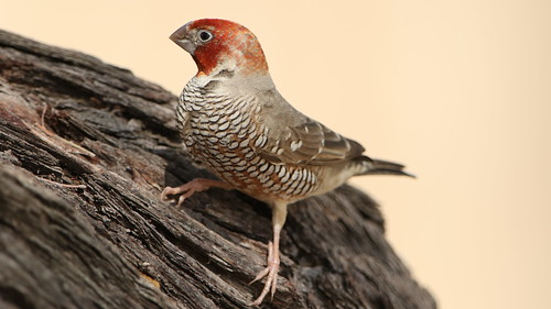 Red-headed finch, Amadina erythrocephala, at Kgalagadi Transfrontier Park, Northern Cape, South Africa | by Derek Keats