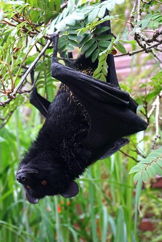 Livingstone Fruit Bat | by surreyblonde