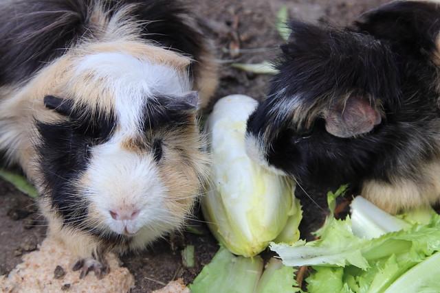 Munching Piggies