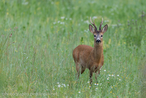 Roe Deer | by Petri Lopia