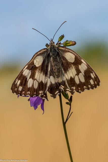 Schachbrettfalter mit geöffneten Flügel auf einer Glockenblume