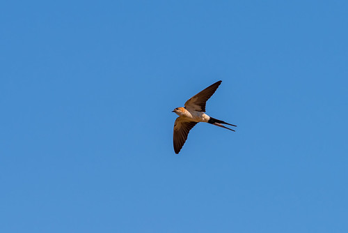 Red Rumped Swallow (Cecropis daurica) | by www.craigrogers.photography