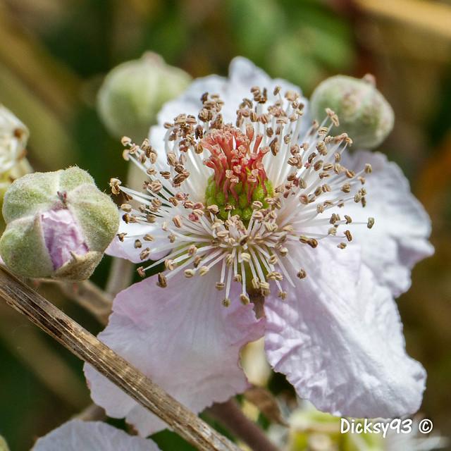 Ronce commune (Rubus fruticosus)