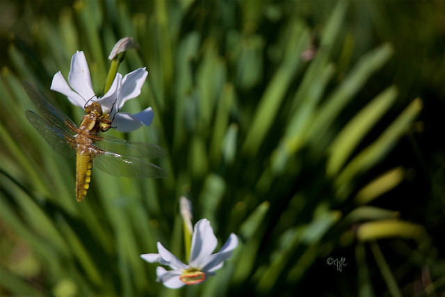 La fleur et la libellule...The flower and the dragonfly ...