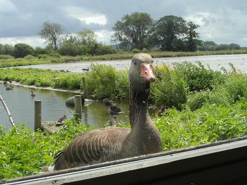 slimbridge wetlandcentre hide greylaggoose geese ducks gloucestershire abwaterbirds