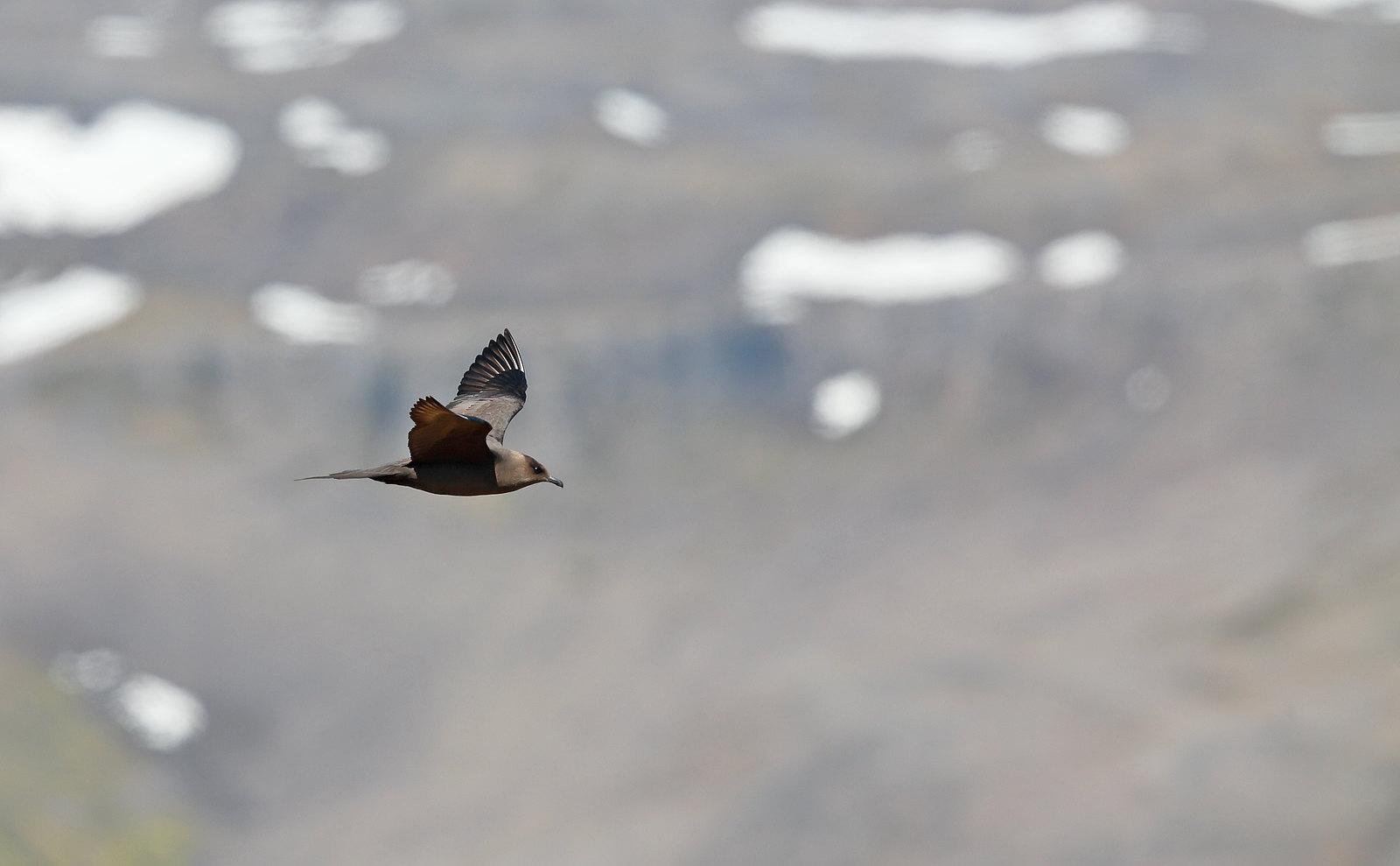 Arctic Skua in landscape