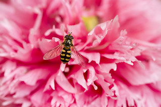A Pollinator in Pink........HFDF! | by The Manic Macrographer