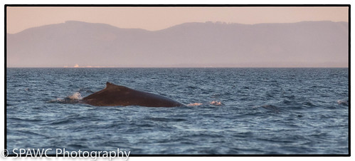 coastal ocean whale outdoors humpback britishcolumbia marinemammals seascapes portangeles washington unitedstates us