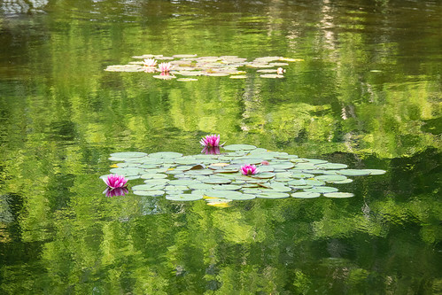 water lily and reflections