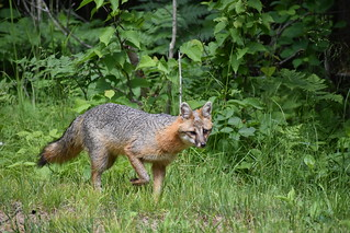 Gray Fox | by U.S. Fish and Wildlife Service - Midwest Region