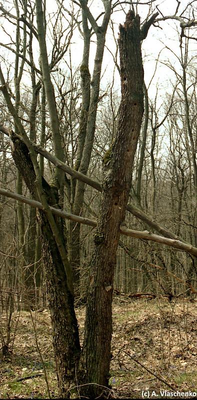 Сухой ствол сломанного дерева, место нескольких дупел дятлов