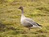 Pink-footed Goose (Anser brachyrhynchus) by Francisco Piedrahita