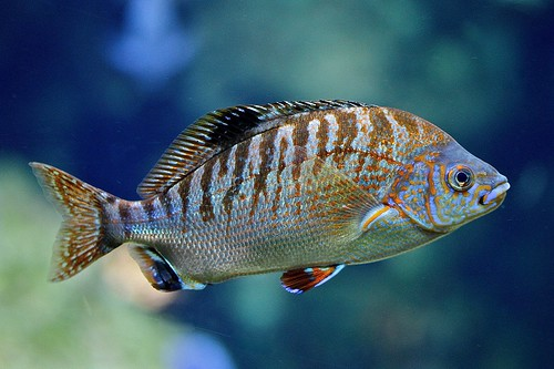 Rainbow Surfperch | by Ron's Aquarium Photos