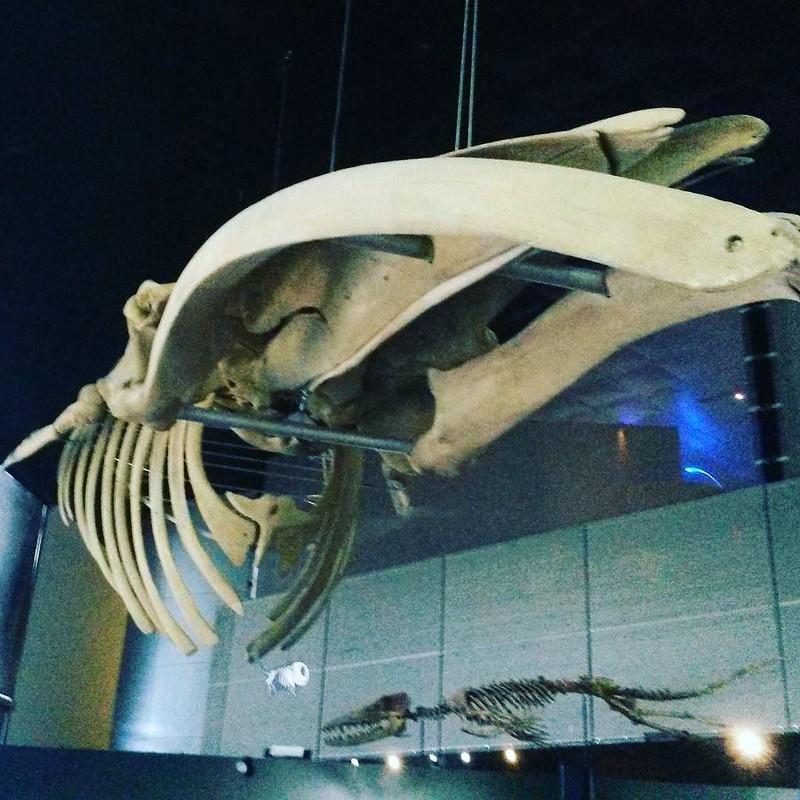 Les petites colles d'une médiatrice, nouvelle question spéciale été !! Quelle est l'animal terrestre le plus proche des cétacés (ici un squelette de rorqual commun)?? Réponse prochainement !! #exposition #museum #anecdotes #toulouse #culture #science #pat