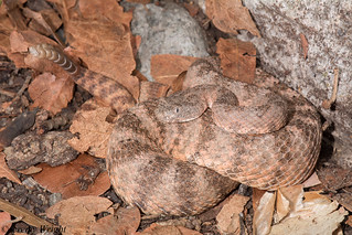 Tiger Rattlesnake | by Jeremy Wright Photography