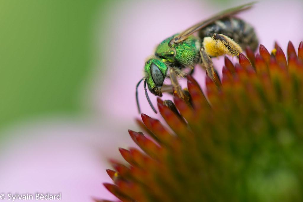 Halicte vert - Agapostemon virescens - sweat bee - Virescent green metallic bee