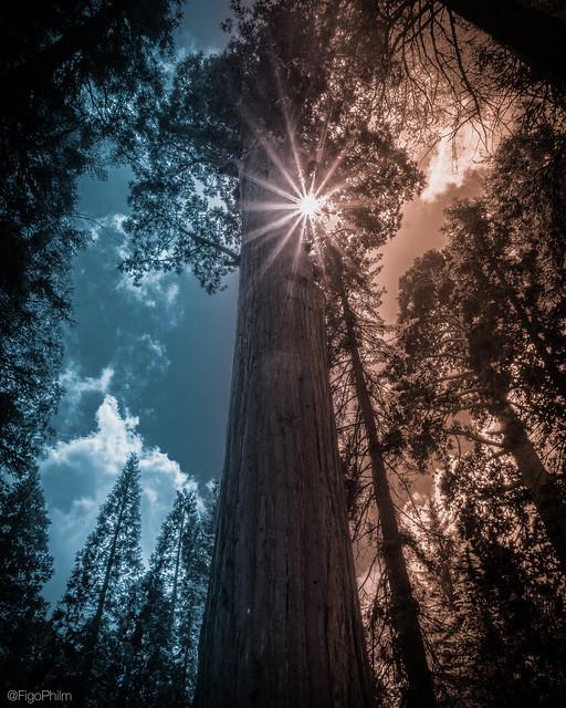 split tone sequoia