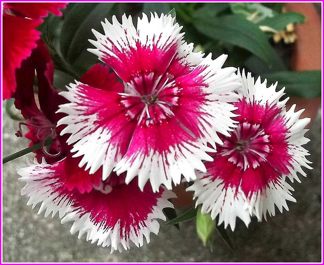 Dianthus Flower ..