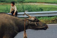 Buffalo in Road, Lai Châu, Vietnam