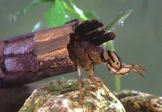 caddis fly larva
