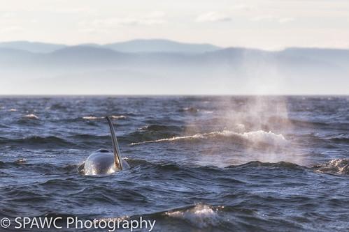coastal orca whale outdoors ocean britishcolumbia marinemammals seascapes portangeles washington unitedstates us