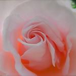 ピンクの薔薇 Rose of pink color