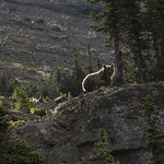 Grizzly Bear on Going-to-the-Sun Mountain