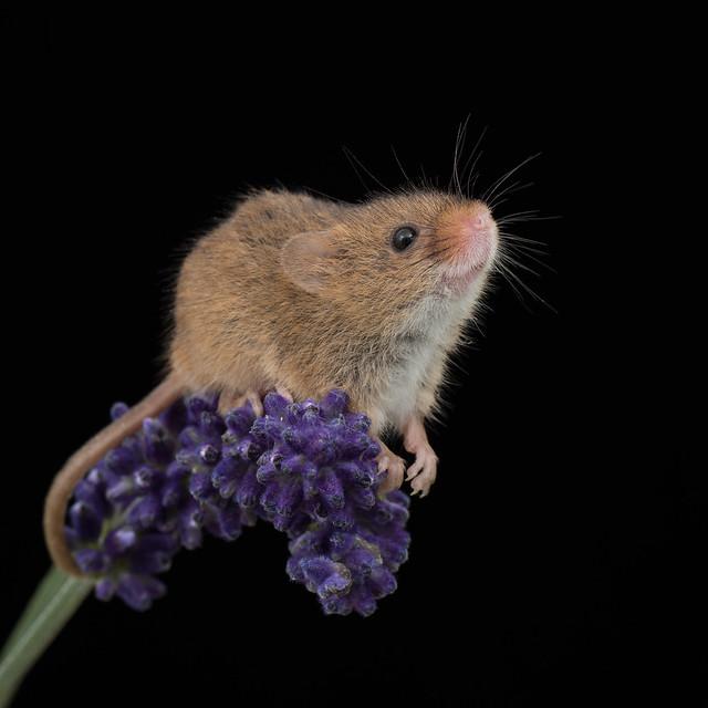 Lavender Mouse