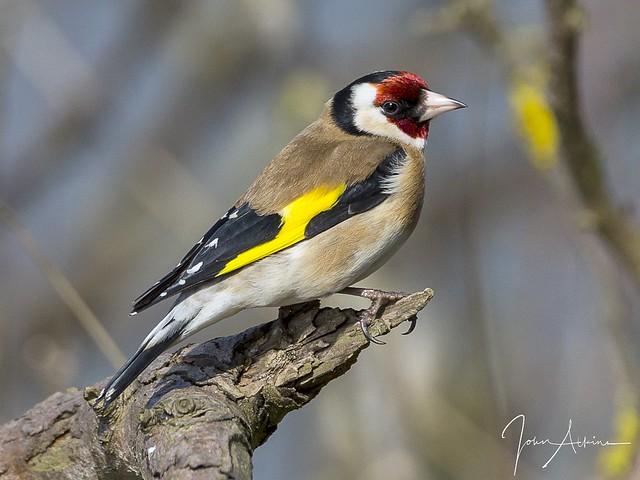 Goldfinch at Nene Park.