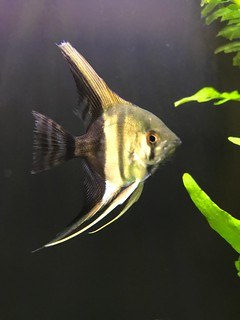 Angelfish | by Alder